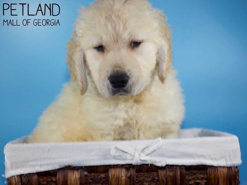 Golden Retriever-Male-Light Golden-3088302-Petland Mall of Georgia