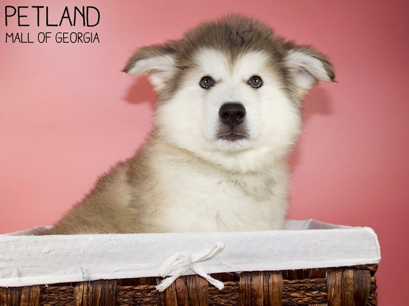 Alaskan Malamute-Female-Sable-3088299-Petland Mall of Georgia