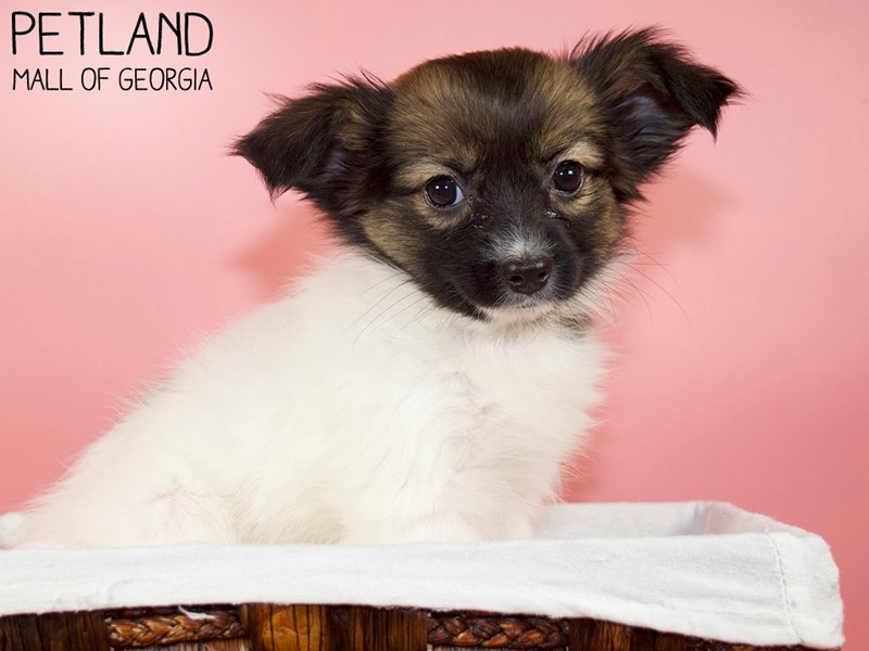 Papillon-Female-Sable / White-3088291-Petland Mall of Georgia