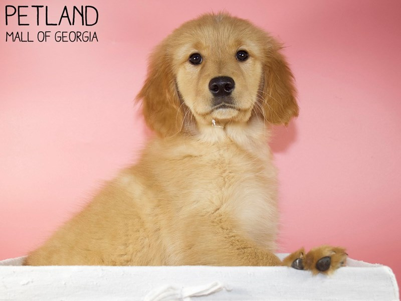 Golden Retriever-Female-Golden-3088290-Petland Mall of Georgia