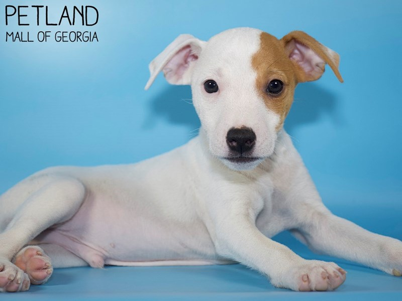 Jack Russell Terrier-Male-White-3099376-Petland Mall of Georgia