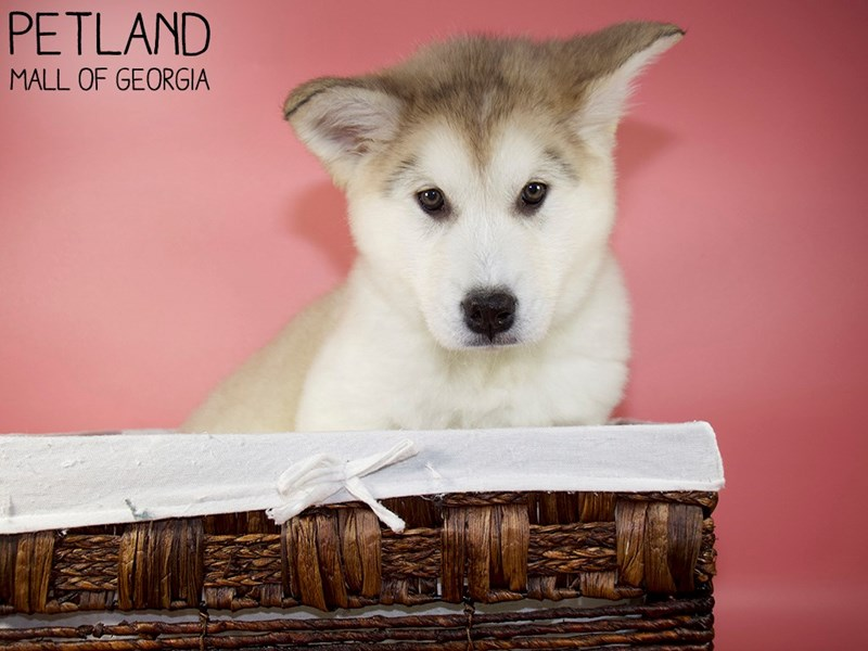 Alaskan Malamute-Female-Sable-3088300-Petland Mall of Georgia