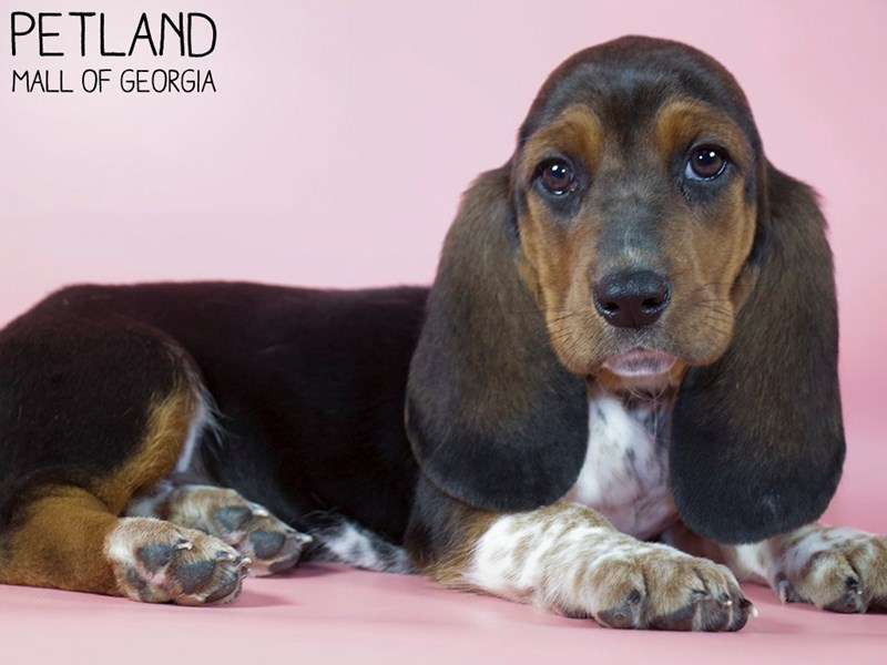 Basset Hound-Female-Black Tan / White-3099370-Petland Mall of Georgia