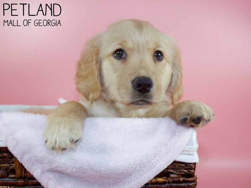 Golden Retriever-Female-Golden-3110413-Petland Mall of Georgia