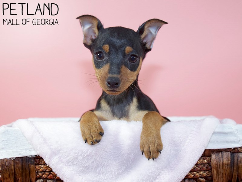 Miniature Pinscher-Female-Black / Rust-3110403-Petland Mall of Georgia