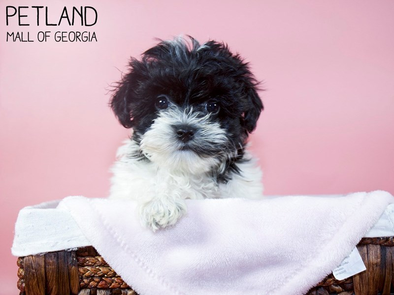 Yorkiepoo-Female-Black / White-3131470-Petland Mall of Georgia