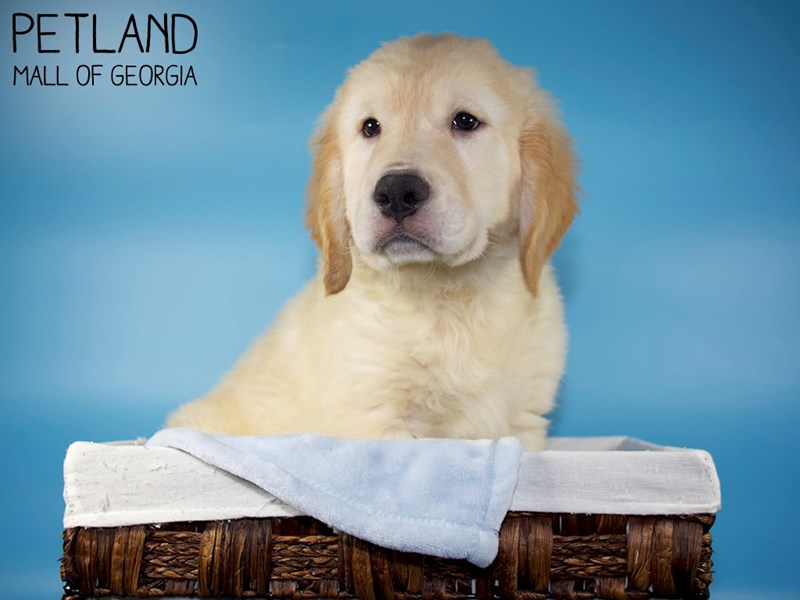 Golden Retriever-Male-Golden-3131426-Petland Mall of Georgia