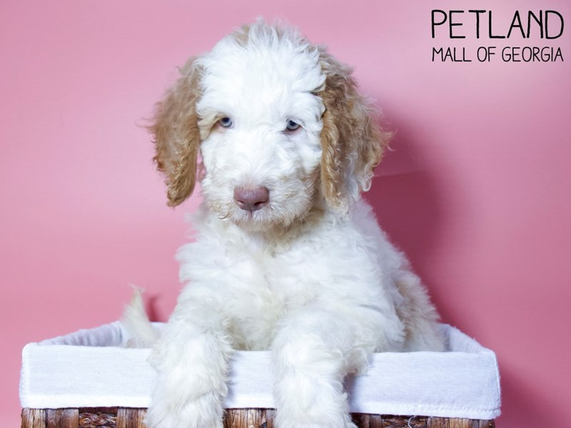 Goldendoodle 2nd Gen-Female-Red & White-3275393-Petland Mall of Georgia