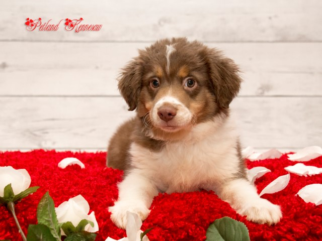 Australian Shepherd-DOG---AUSTRALIANSHEPHERDAUSTRALIANSHEPHERD37JPG-Petland Mall of Georgia