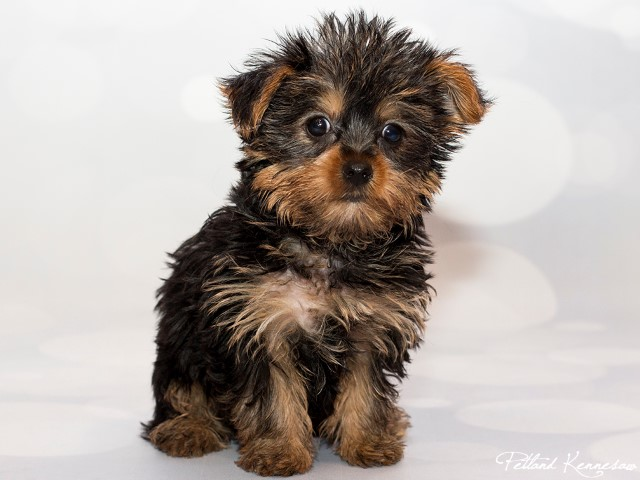 Yorkshire Terrier-DOG---YORKSHIRETERRIERYORKSHIRETERRIER16JPG-Petland Mall of Georgia