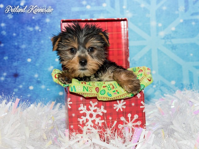 Yorkshire Terrier-DOG---YORKSHIRETERRIERYORKSHIRETERRIER48JPG-Petland Mall of Georgia